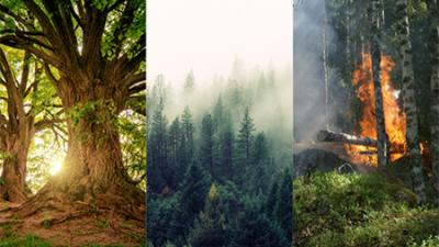 CA forests and fires